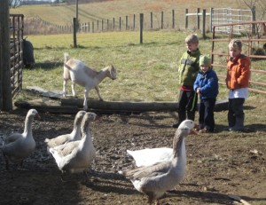 goat, geese and kids